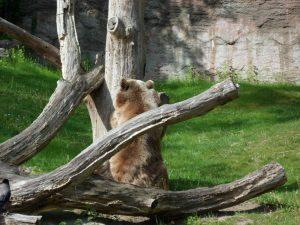 Orso Zoo Berlino