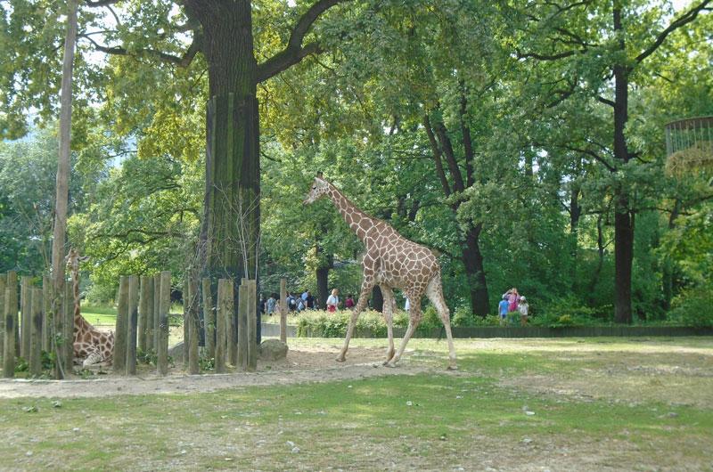 Giraffa Zoo di Berlino